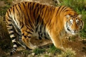 asiatische-tijger-terra-natura